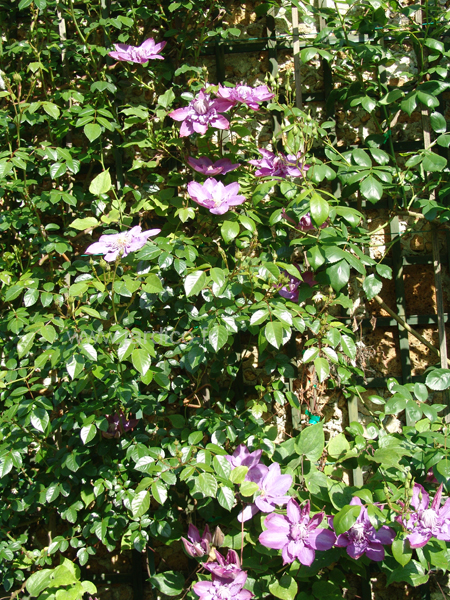 clematis vyvyan pennell 1