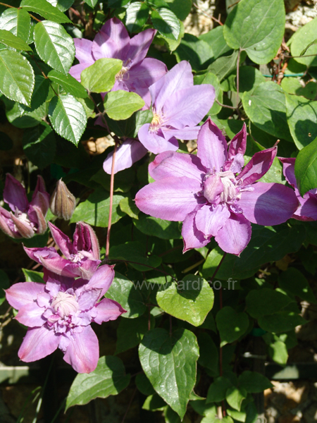 clematis vyvyan pennell 2