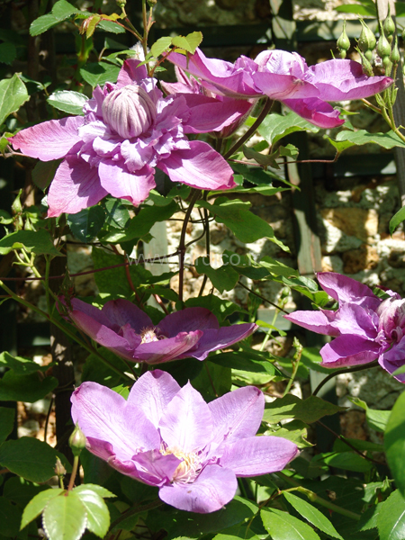 clematis vyvyan pennell 3
